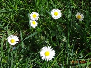 Die Frühjahrswärme treibt Gänseblumen ans Licht