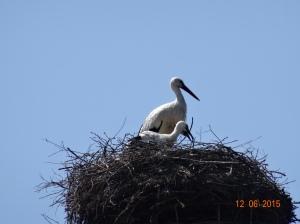 Storch mit Jungvogel © Paul Bock