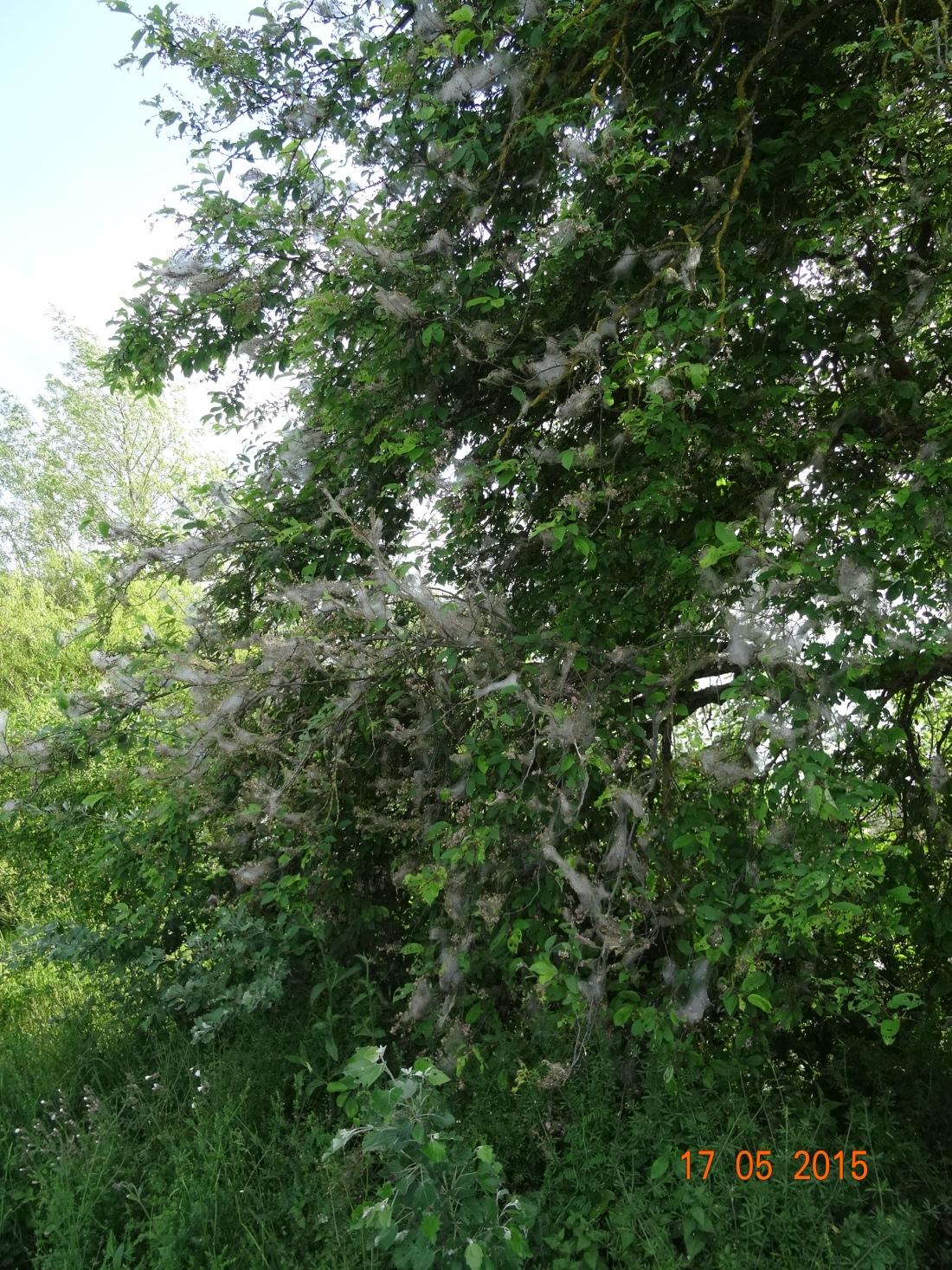 Von Gespinsten geschützt besiedeln Raupen der Gespinstmotte Sträucher und Bäume © Paul Bock