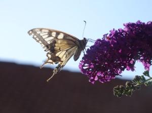 Schwalbenschwanz? Jedenfalls ein kleines Wunder der Natur - © Paul Bock