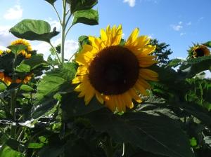 Sonnenblume schenkt Freude © Paul Bock