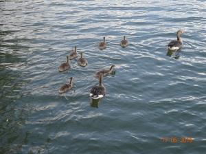 Wasservögel Familie © Paul Bock