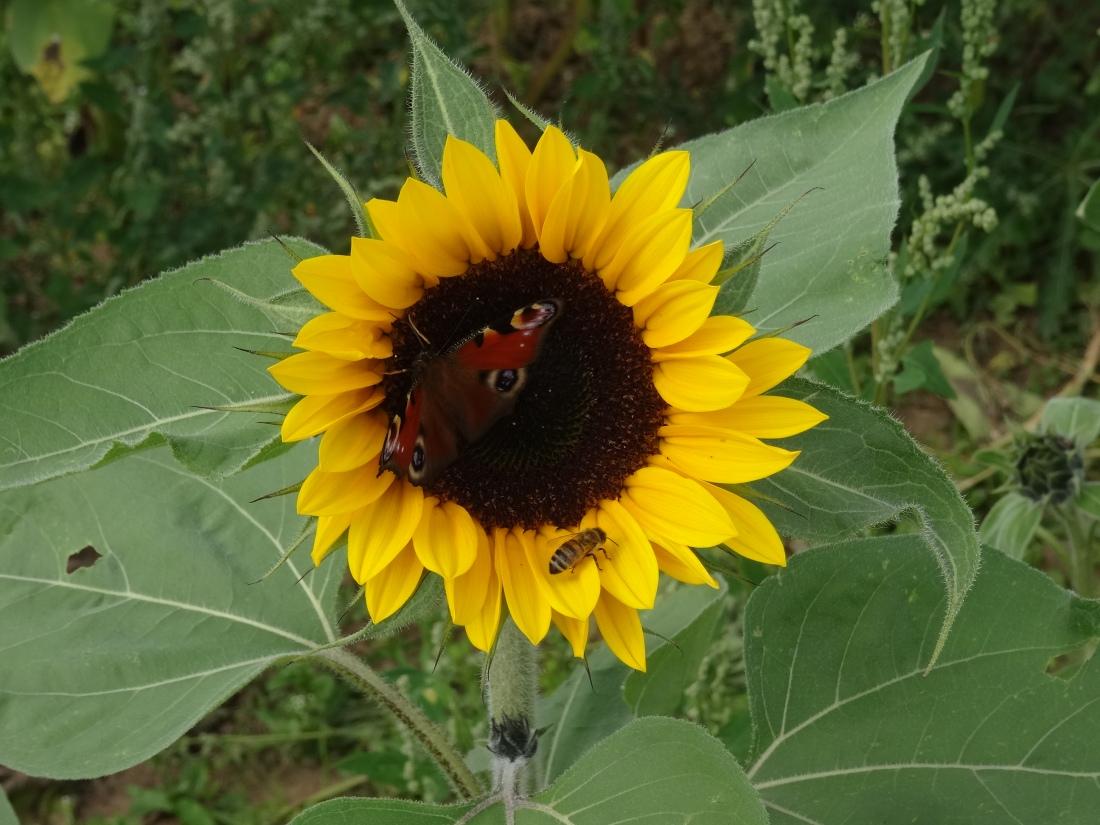 Sonnenblume lockt Tagpfauenauge und Biene an. © oekobeobachter