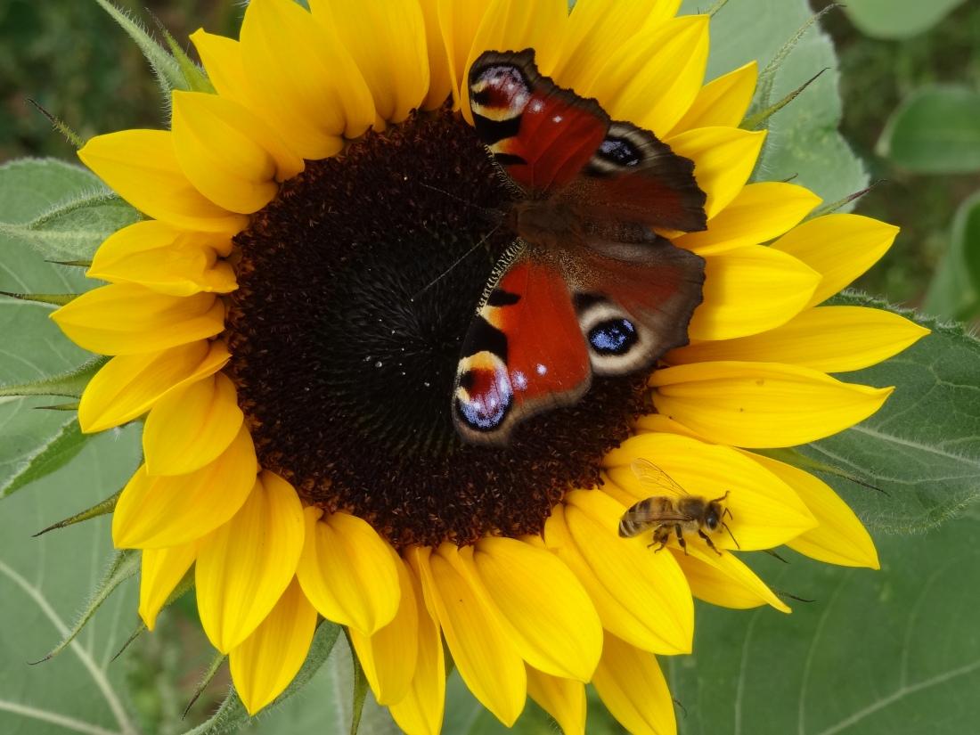 Tagpfauenaug auf Sonnenblume © Paul Bock