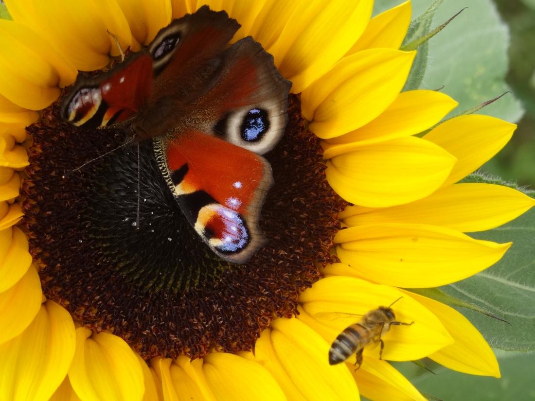 Tagpfauenauge und Biene auf Sonnenblume copyright Paul Bock