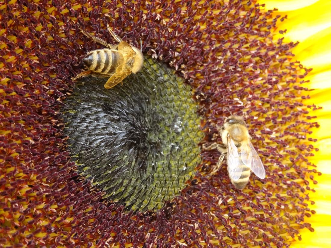 Hummeln oder Bienen holen sich Nektar aus einer Sonnenblume © Paul Bock