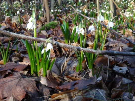 Märzenbecher - Frühlingsknotenblume - Märzbecher - Großes Schneeglöckchen © Paul Bock