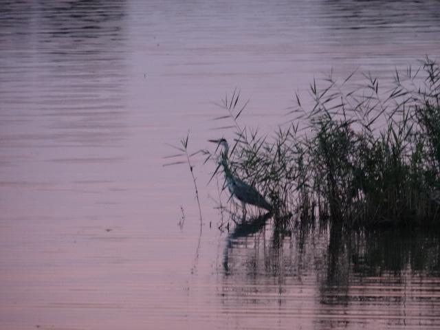Reiher am Seeufer © Paul Bock