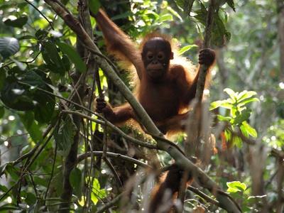 Orang Utan Borneo_R_B_by_Fausto Dembinski_pixelio.de