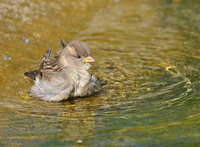 Spatz badet sich_R_K_B_by_Ruth Rudolph_pixelio.de