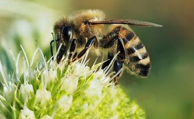 Honigbiene - R_B by luise - pixelio.de